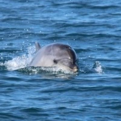 Tursiopi del Golfo - Bottlenose dolphins of the Gulf - Grands dauphins du Golfe